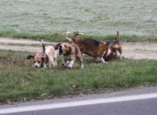 Passion Beagle, Chasse et Beagle, Beauté du Beagle