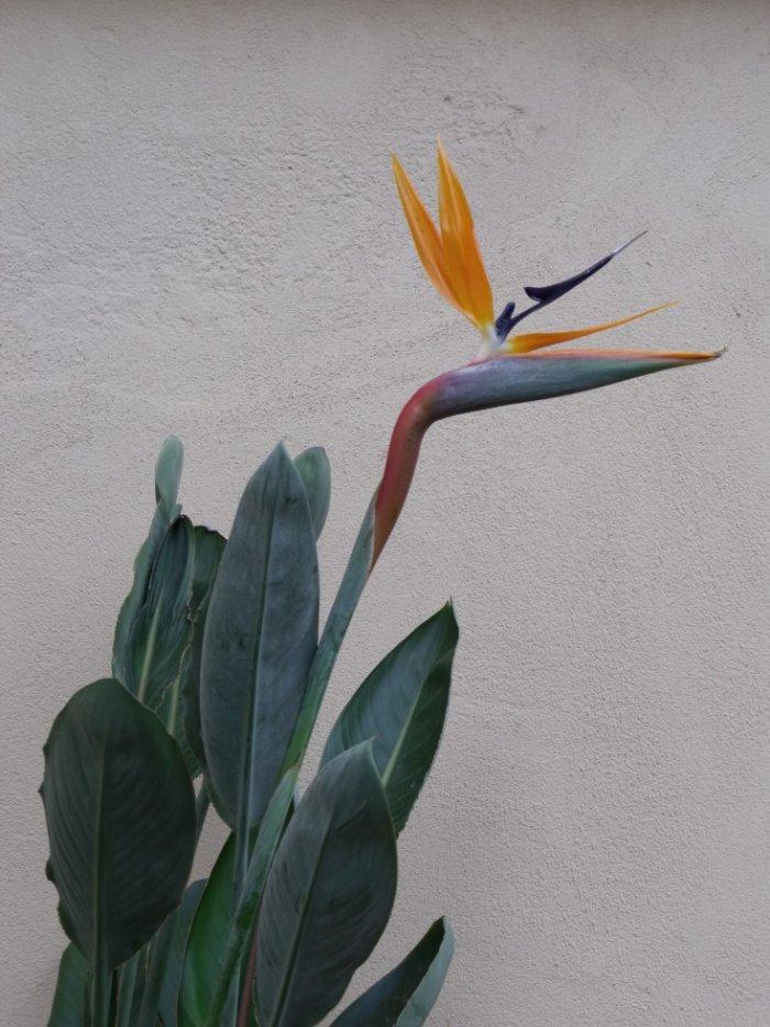 oiseau du paradis en pot quel engrais pour favoriser sa floraison page 2 plantes du. Black Bedroom Furniture Sets. Home Design Ideas