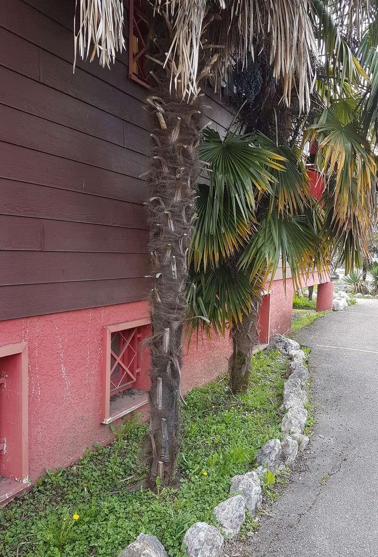 le forum des fous de palmiers arrachage de trachycarpus. Black Bedroom Furniture Sets. Home Design Ideas