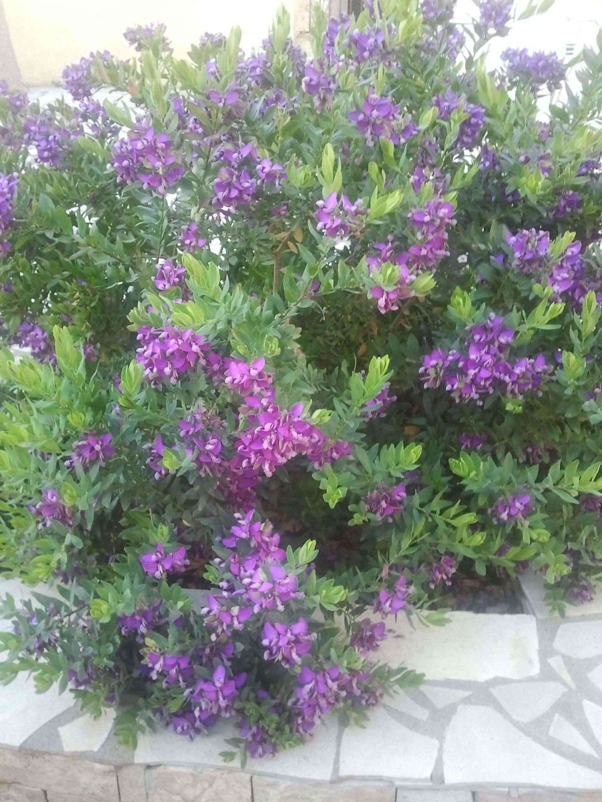 identifiee polygala myrtifolia quelle plante au jardin forum de jardinage. Black Bedroom Furniture Sets. Home Design Ideas
