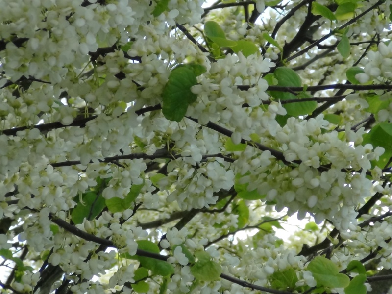 identifie cercis siliquastrum alba arbre fleur blanche au jardin forum de jardinage. Black Bedroom Furniture Sets. Home Design Ideas