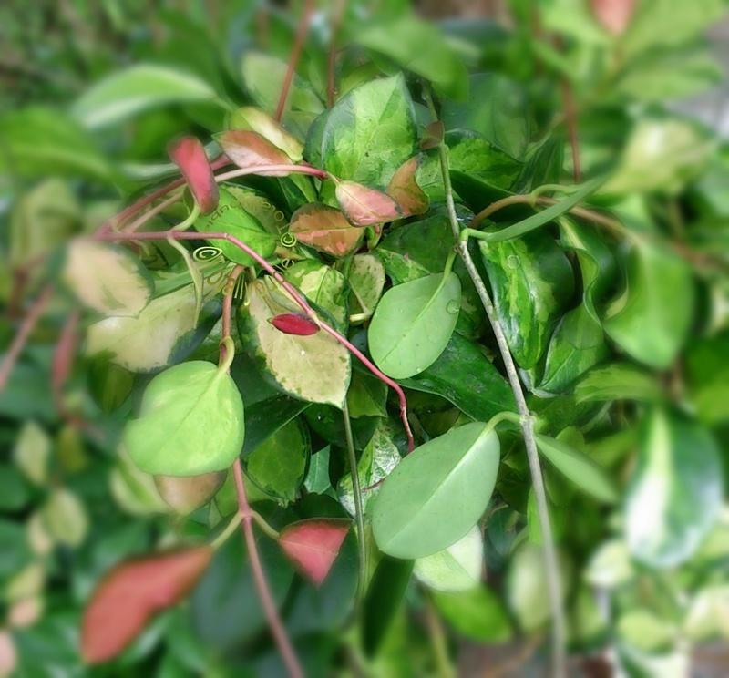 Celtis australis 8 graines de MICOCOULIER DE PROVENCE N99 Hackberry SEEDS BONSAI