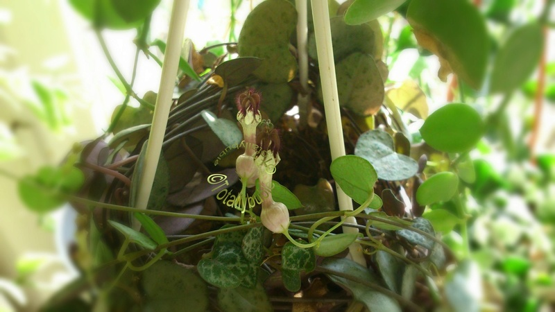 jeune plante young plant ceropegia woodii chaine de coeur pour suspension ebay. Black Bedroom Furniture Sets. Home Design Ideas