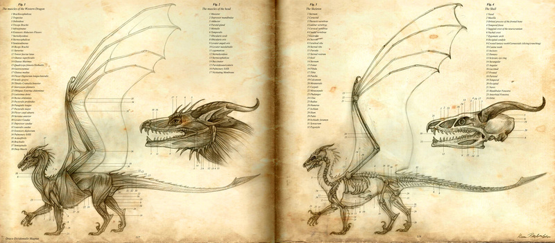 Dragon's anatomy