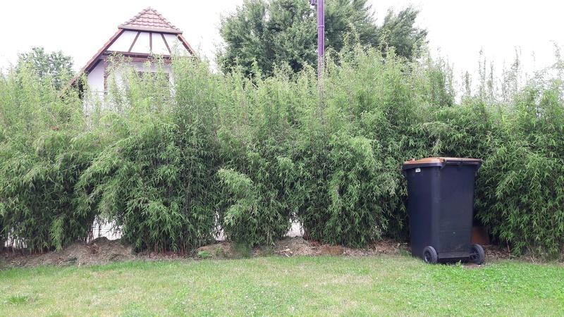 projet de 25 m tres de haie forum des fous de bambous. Black Bedroom Furniture Sets. Home Design Ideas