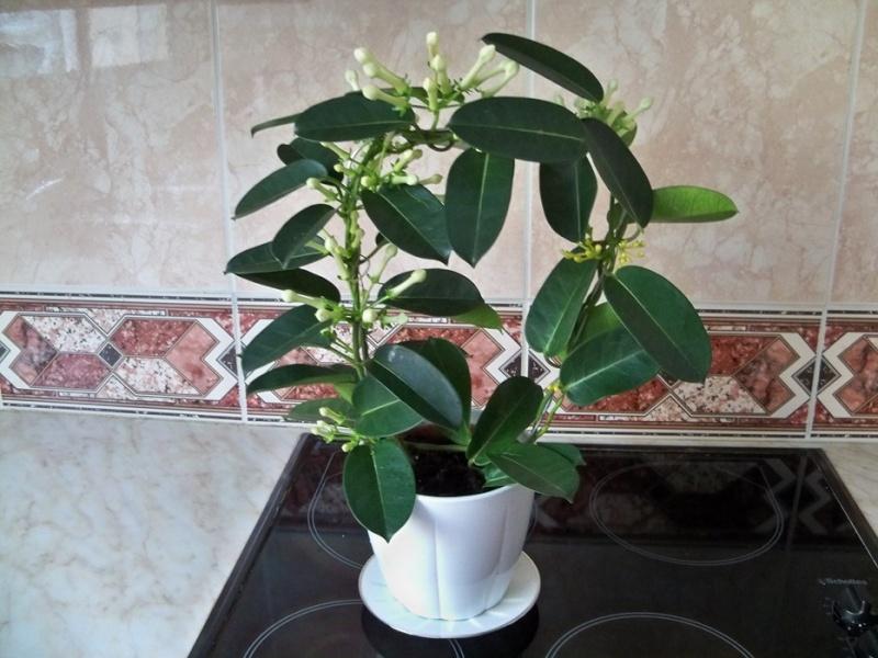 Entretien d 39 un st phanotis au jardin forum de jardinage - Petit arbre d interieur ...