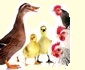 Forum avicole généraliste