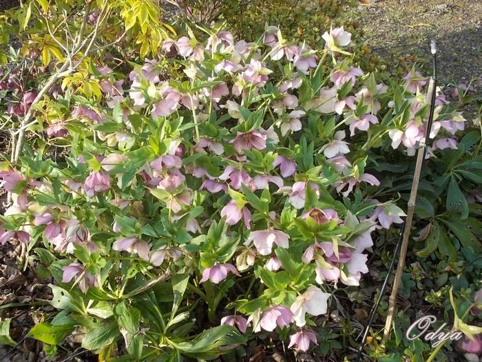 Vivaces et arbustes floraison hivernale for Floraison hiver