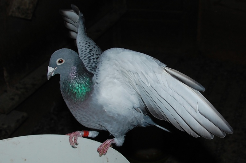 pigeon20.jpg