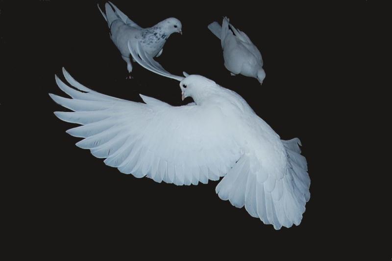 pigeon22.jpg