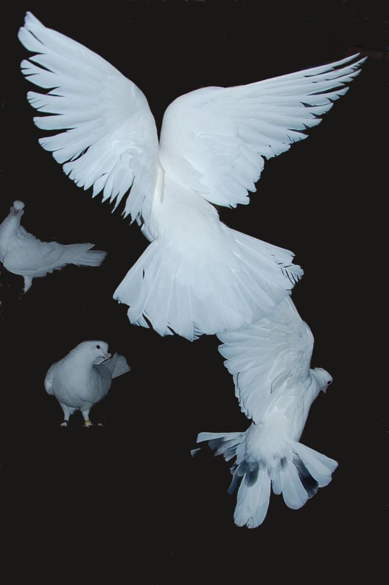 pigeon23.jpg