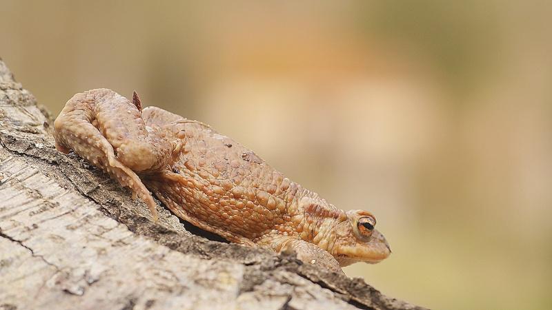 Amphibiens de printemps... le crapaud commun