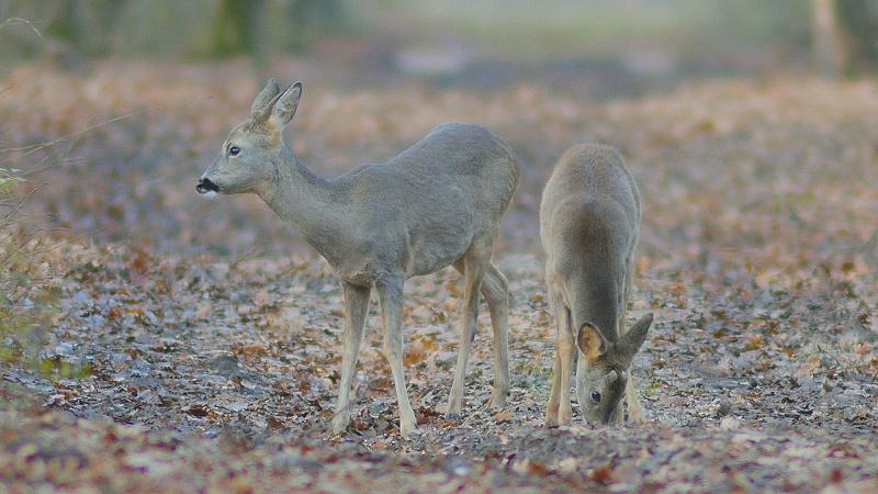 Chevrette et chevrillard en hiver en foret de Fontainebleau
