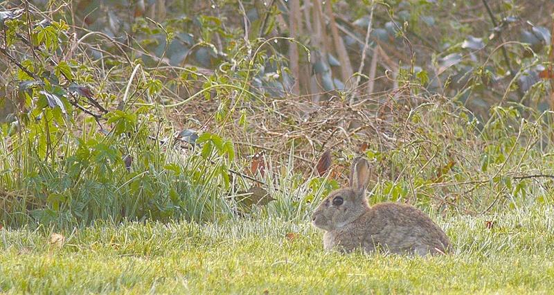 Affut aux lapins...