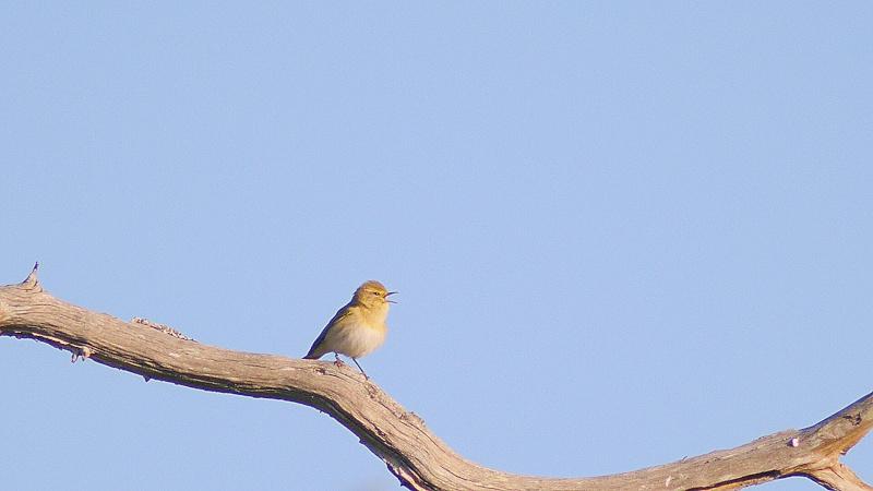 Oiseaux des clairières de la foret de Fontainebleau..