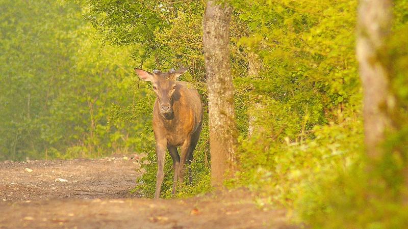 Cerfs en velours en forêt de Fontainebleau...