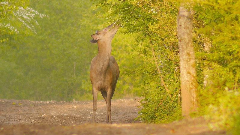 Cerf mulet se régalant de jeunes feuilles...
