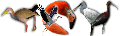 ( fiches d'élevage ) Autres Oiseaux d'eau d'Ailes d'Ornement