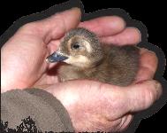 La Reproductions dans les élevages  d'Ailes D'Ornement