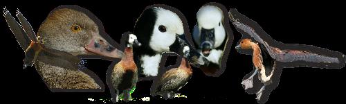 ( fiches d'élevage ) les Dendrocygnes