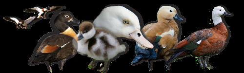 ( fiches d'élevage) Les tadornes