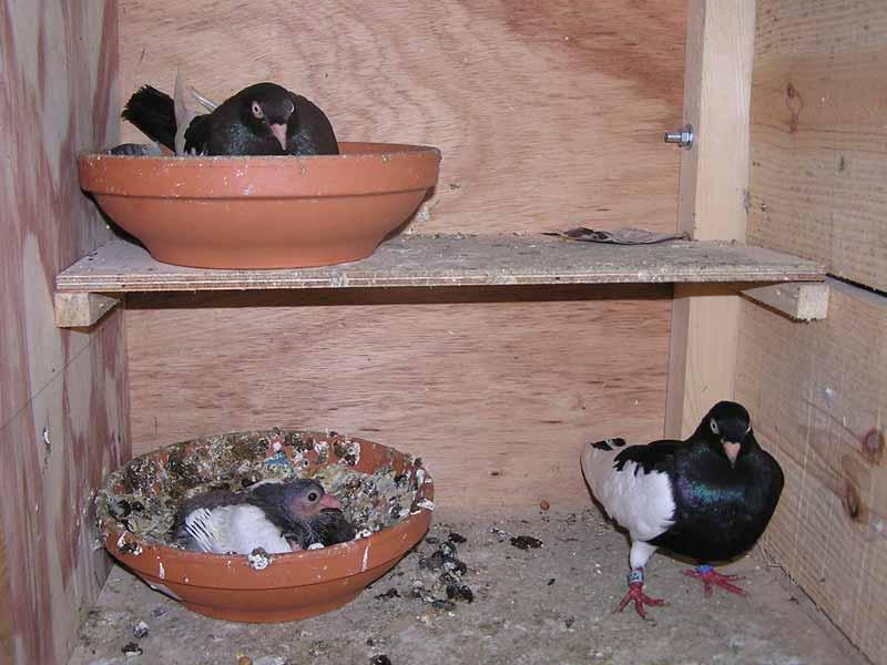 pigeons paon tous savoir. Black Bedroom Furniture Sets. Home Design Ideas