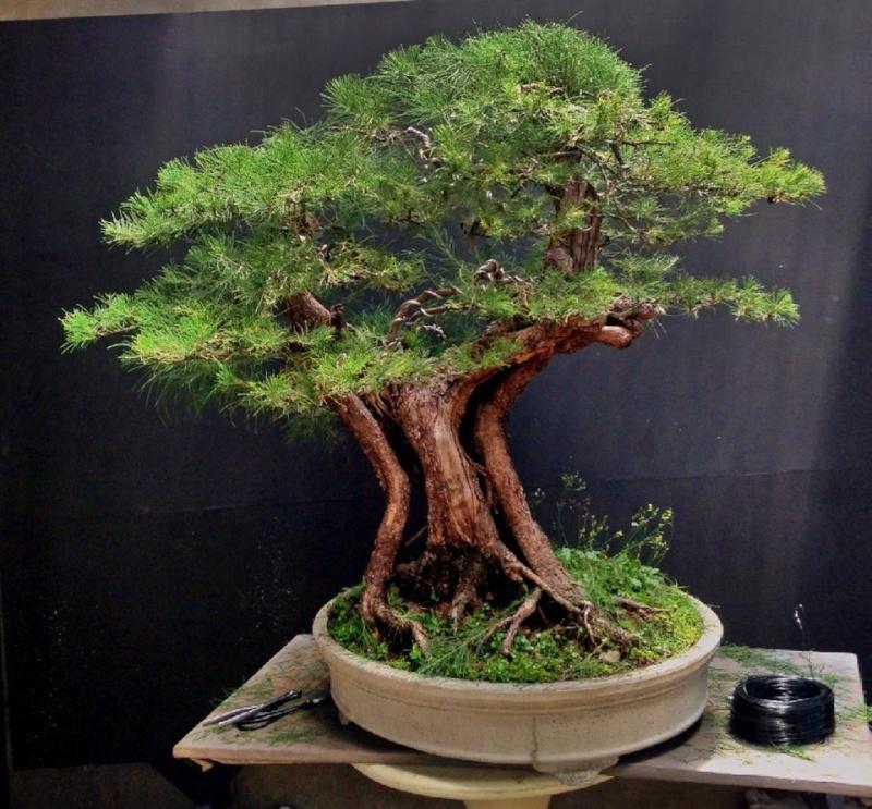 Large Casuarina equisetifolia