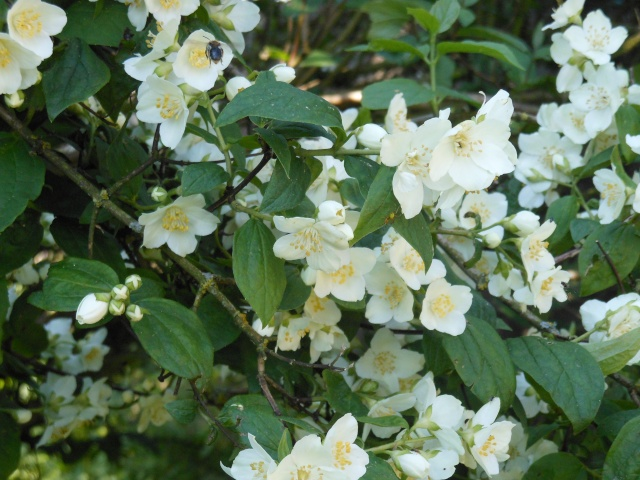 identifie philadelphus coronarius arbuste fleur. Black Bedroom Furniture Sets. Home Design Ideas