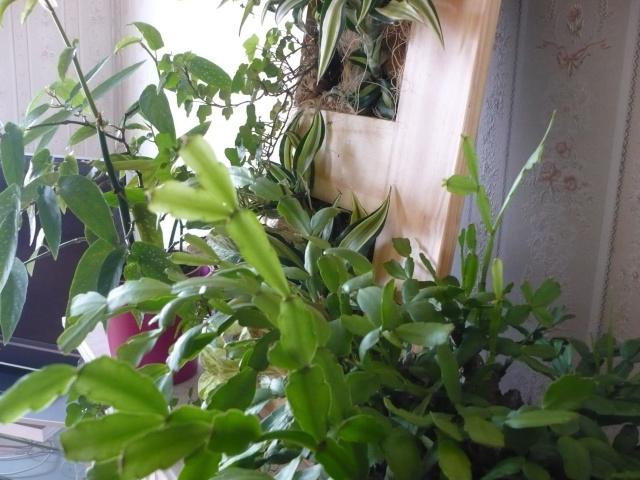 recherche plants boutures de plante d 39 int rieur page 3. Black Bedroom Furniture Sets. Home Design Ideas