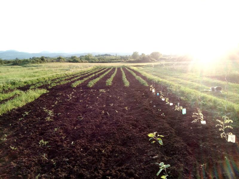 Planteuse pommes de terre - Date plantation pomme de terre ...