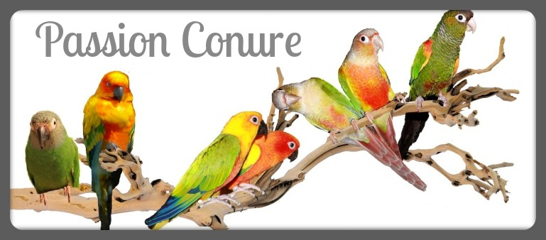 Passion conure