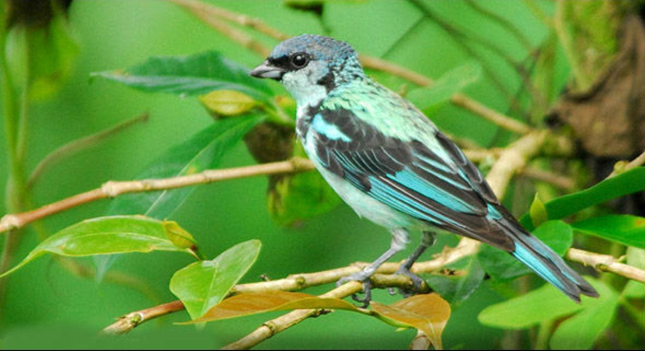 طائر التناجر الأزرق الشائع image_10.jpg