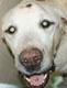 """<FONT COLOR=""""#C4504C"""">WE GO (mâle Labrador d'environ 11 ANS) - tumeur sur la tête et anale - ADOPTE refuge de St Georges sur l'Aa EN 2016</FONT>"""