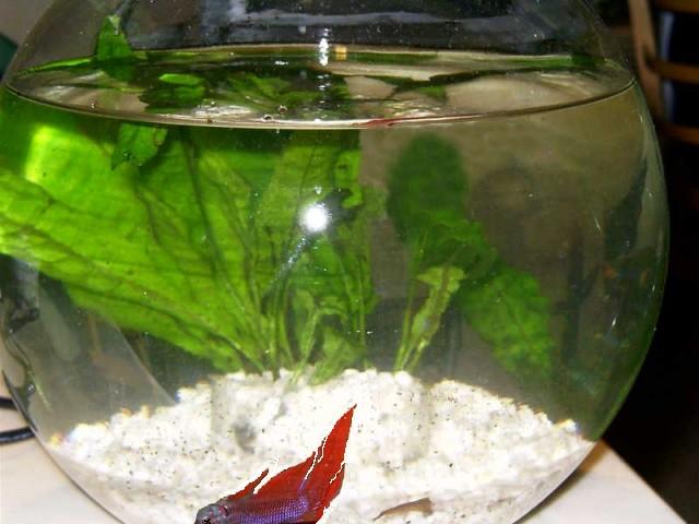 Crevette dans une boule for Aquarium poisson rouge boule