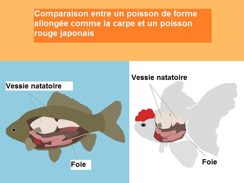 Quelle quantit de nourriture pour nos poissons rouges for Nourriture poisson rouge voile de chine