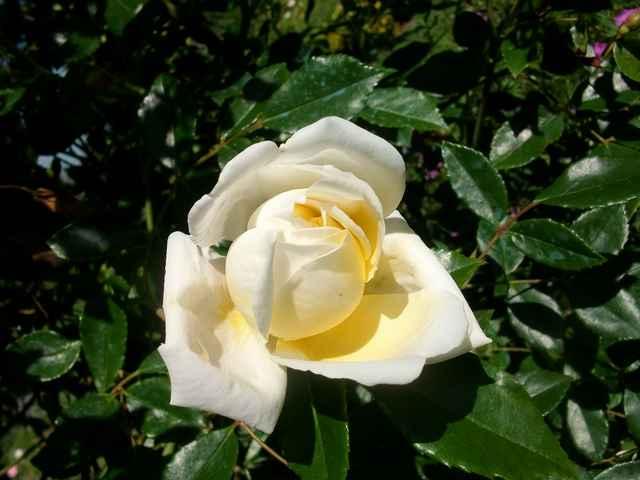 rose_a14.jpg
