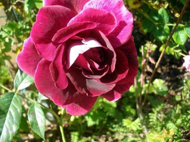 rose_b13.jpg