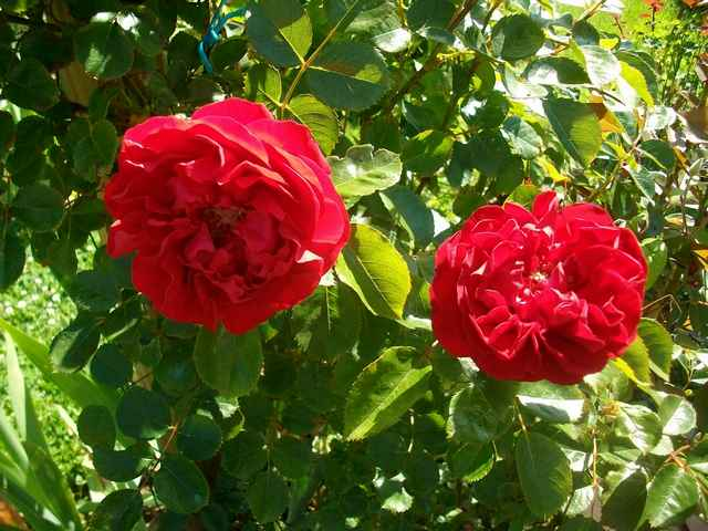 rose_f11.jpg