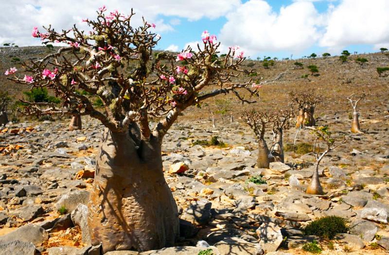 Adenium Desert Rose Australia
