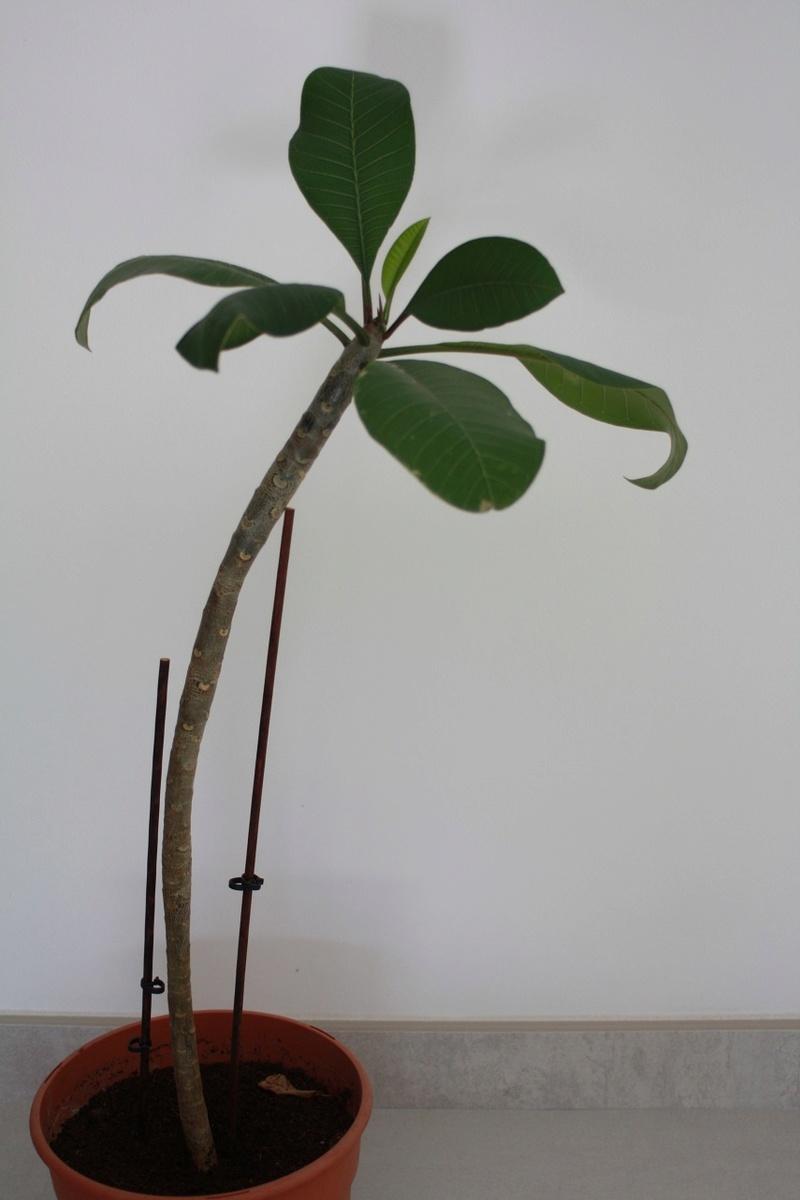 Plumeria maigrelet - Combien de temps pour qu un coup de soleil parte ...