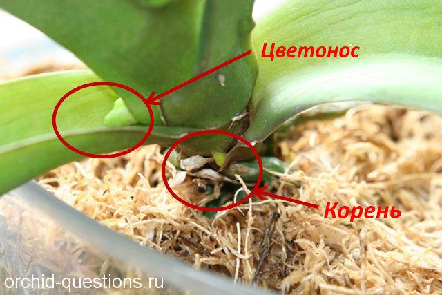 Как появляется цветонос у орхидеи