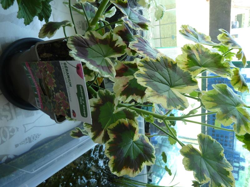 G ranium feuille tricolore - Geranium feuilles qui jaunissent ...